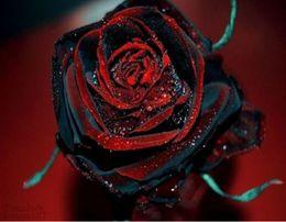 semi neri Sconti Bonsai fiore Rare True Blood Black Rose Flower Incredibilmente Beautiful Seeds giardino decorazione piante 20pcs A65