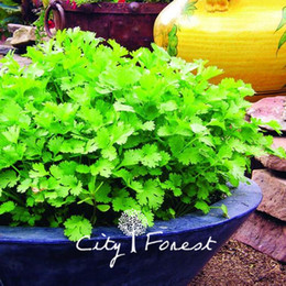 Wholesale Herb Wholesalers - 200 Pcs Coriander Cilantro Coriandrum sativum Vegetable Herb Seeds Easy to Grow from Seeds Heirloom Vegetable Seed