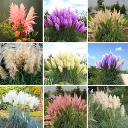 Wholesale Ornamental Flower Pots - Pampas Grass Seed Patio and Garden Potted Ornamental Plants New Flowers (Pink Yellow White Purple) Cortaderia Grass Seed 500 Pcs