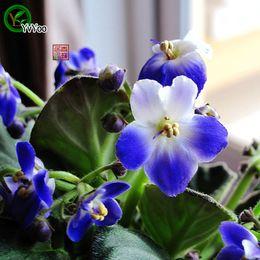 Blue Violet samen Bonsai Blumensamen Topfpflanzen Blumen 50 Partikel / Tasche v004 von Fabrikanten