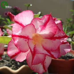 2019 plantes roses du désert Taux élevé de germination Graines de roses du désert Bonsaï Graines de fleurs Plantes en pot Fleurs 1 Particules / Sac b017 plantes roses du désert pas cher