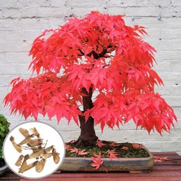 Wholesale Trees Wholesale Red Maple - 10pcs Red Maple Seeds Garden Bonsai Beautiful Indoor Potting Plant