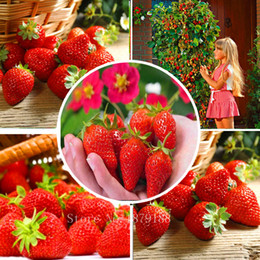 Wholesale Outdoor Plants - Red Climbing Strawberry Seeds, Garden Fruit Plant, Sweet And Delicious outdoor plant 100pcs AA
