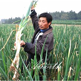 Wholesale onions seeds - Giant Chinese Onion Vegetable 200 Seeds Popular Cooking Onions Variety Easy-growing Heirloom Vegetable Seed