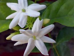 Wholesale Wholesale Jasmine Flowers - Wholesale - 25 SEEDS ARABIAN JASMINE JUSMINUM SAMBAC WHITE SHRUB FLOWER SEEDS Single petal Free shipping