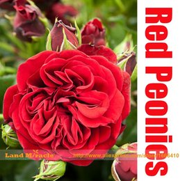 Wholesale Tree Peony Wholesale - 5 Seeds Pack, Rare Heirloom Dark Crimson Rose Red Tree Peony Flower Seeds, Spring Bloom Strong Fragrant Subshrubby Peony Flowe