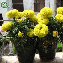 Wholesale Marigolds Flowers - Yellow Marigold Seeds Promotion Balcony Bonsai Flower Seeds Flowering Plants 50 pcs T013