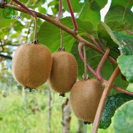 semi di kiwi Sconti Kiwi Seeds Green Organic Vegetables and Fruit Seeds 50 deliziose particelle / lotto W014
