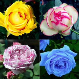 Wholesale Wholesale Rose Varieties - 2016New Varieties Colors Rose Pink Purple Rose Seed - color 100 seeds per package flower seeds home HY1158