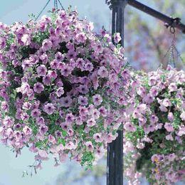 Semi di gloria online-(300 pezzi / lotto) Semi di petunia Viola Petunia Hybrida Giardino Casa Bonsai Balcone Fiore Morning Glory semi