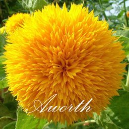 Wholesale Growing Container Plants - Sunflower 50 Pcs Flower Seeds   Bag Double Blooms Easy to Grow from Seeds Popular Cut Flower Yard Garden Container Plant