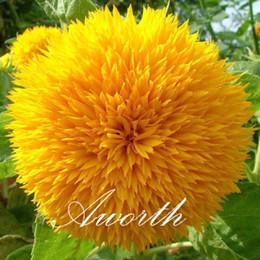Girasole 50 Pz Semi / Sacchetto di fiori Doppi fiori facili da coltivare dai semi da