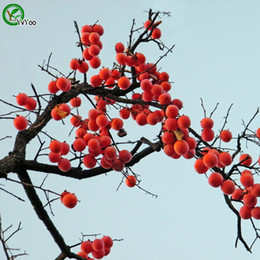 Wholesale Persimmon Fruit - Persimmon Seeds garden plants Bonsai organic fruit and vegetable seeds 30pcs C014