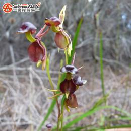 i semi di orchidee sono rari Sconti 100Pcs Flying Duck Orchid Seeds Pianta rara Semi di orchidea nera Piante da giardino Semi di fiori in vaso