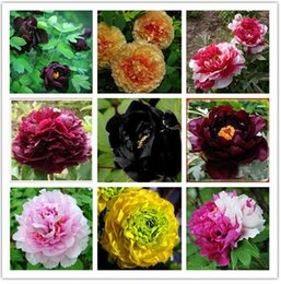 Wholesale Peonies Seeds - Hot Elegant Peony Flower Seeds Garden Seeds And Potted Plants Red Peony Seeds Easy to grow 12 PCS