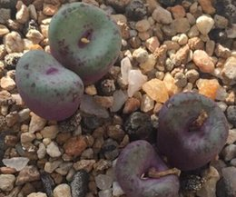 Wholesale Garden Goods - 50pcs a set Conophytum pageae Flower Seed rare Home garden Diy Very Reasonable Choice For You Good Chance