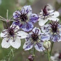 Wholesale 50 seeds pack NIGELLA LOVE IN THE MIST DELFT BLUE FLOWER SEEDS RESEEDING ANNUAL