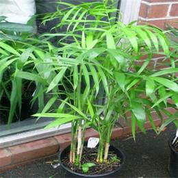 semi del mondo Sconti 30 pz Cina Rare Palm semi di bambù Rare di alta qualità Bonsai Giardino di casa semi S007