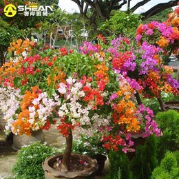 Wholesale Bougainvillea Flowers - Top Selling Colorful Bougainvillea Spectabilis Willd Seeds Bonsai Plant Flower Seeds Perennial Bougainvillea seeds - 100 PCS