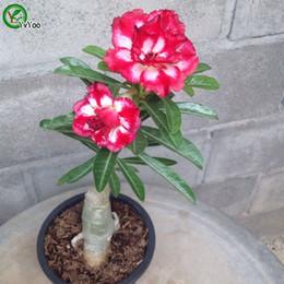 plantes roses du désert Promotion Graines de roses du désert Graines de fleurs Bonsai Plant pour jardin de la maison 5 Particules / lot D018