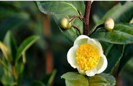синенсис Скидка Оптовая продажа-60 CAMELLIA sinensis зеленый чай семена Бесплатная доставка