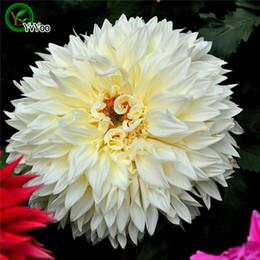 Beyaz Dahlia Tohumları Saksı Yetiştiricilerinin Bahçe Bonsai Çiçek Tohumu 30 Parçacıklar / lot L090 nereden
