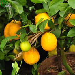 Canada Graines de Citron Jaune Fruits Délicieux Mini Graines D'Arbres Fruitiers En Pot Intéressant Bonsaï 30 Particules / lot x008 supplier mini plant pots Offre