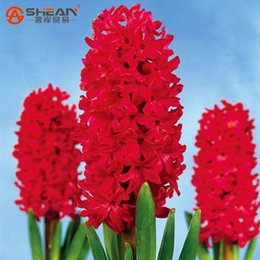Wholesale Plant Pots For Balconies - 100pcs lot Bonsai Red Hyacinth Seeds Balcony Plant Seeds Hyacinthus Orientalis Flower Seeds Potted Plants for Home&garden