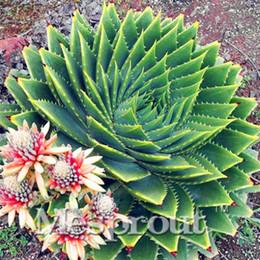 Nadir Spiral Yeni Tohumlar Succulents Tohum, MESA Aloe polyphylla rotasyon aloe vera kraliçe tohumları, 100 adet / torba supplier succulent seeds nereden etli tohumlar tedarikçiler