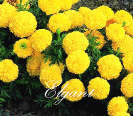 Wholesale Marigold Plants - Hybrid Marigold Golden Yellow Tagetes Flower Big Flower 100 Seeds Easy to Grow Great Cut Flower Landscape Bonsai Pot Plant Variety