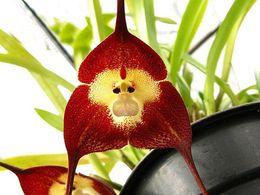 Wholesale Orchid Flower Plants - Monkey Face Seeds 10pcs Monkey Face Orchid Flower Seeds Plant Seed Bonsai Flower Seeds Orchid Species Orchid Plant Cattleya