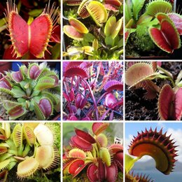 Wholesale Carnivorous Seeds - 3 category Flytrap Seed Bonsai Potted Dionaea Muscipula Plant Seed Terrace Garden Carnivorous Plant Seed 1 Package 100 Pieces