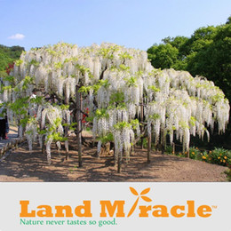 Wholesale Climbing Flower Seeds - 5 Seeds pack, Rare Climbing Flower Plants White Wisteria seeds, Bonsai Wisteria Sinensis Tree for DIY Home & Garden Plants
