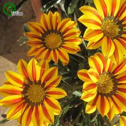 2019 plantes roses du désert Graines de chrysanthème de médaille jaune Graines de fleur de Bonsaï Plantes en pot Fleurs 50 Particules / sac w06