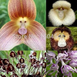 graines de sakura Promotion Nouvelles variétés d'orchidées, graines d'orchidée de singe, graines de fleurs de bonsaïs 100pcs
