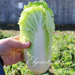 mini semi di verdure Sconti Chinse Cabbage Yellow Mini Vegetable 500 Seeds Verdure resistenti all'inverno facili da coltivare