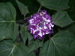 Ангелы труба Datura семена-редкий крем фиолетовый-ароматный, двойной тройной сад украшения цветок 25 шт. cheap angels trumpet от Поставщики ангел труба