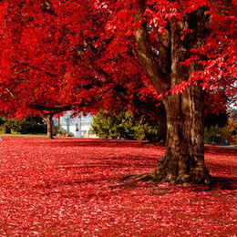 Wholesale Trees Wholesale Red Maple - 20 particles Beautiful Japanese Red Maple Seeds bonsai tree 100% true seed in-kind shooting home garden plant