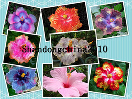 """Wholesale Mix Flower Seeds - Wholesale - Local Farmer """"Giant Hibiscus Exotic Coral Flowers 50 Seeds""""Mix Rare Blue Colors Free shipping"""