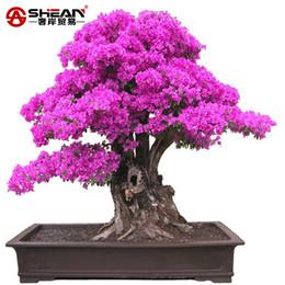 Wholesale Perennial Sales - Hot Sale Purple Bougainvillea Spectabilis Seeds Sementes De Flores Perennial Flowering Plants Bonsai Plant Seeds - 100 PCS