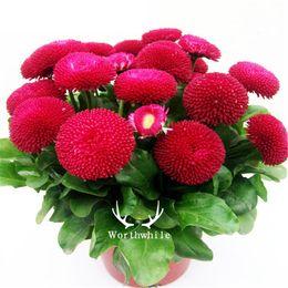 Red English Daisy Flower 500 Seeds Bellis Daisy Facile da coltivare in vaso o terreno cheap daisies seeds da semi di margherite fornitori