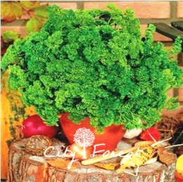 Wholesale Parsley Herbs - Parsley Vegetable Seeds 100 Pcs   Bag Fragrant Easy-growing Heirloom Seeds