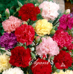 Wholesale Pretty Cut - Carnation Flower Mixed Color 100 Pcs Seeds Pretty Cut Flower and Garden Bonsai Flowering Plant Easy to Grow