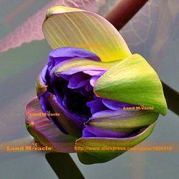 Небесно-голубые семена лотоса, 1 Семена / упак., гидрофильные растения семена водяной лилии, семена цветов DIY Главная сад от Поставщики водные лилии