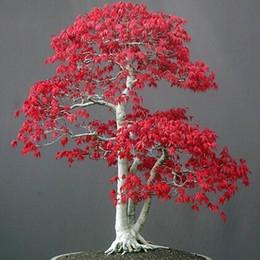 bonsai giapponese d'acero Sconti ALBERO DI ACERO ROSSO GIAPPONESE CON Bonsai Tree Home Garden decorazione 20 particelle / sacchetto