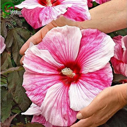Wholesale Flowers Hibiscus - Giant Hibiscus Flower Seeds Flower Seeds Indoor Bonsai plant 50 particles   lot D011