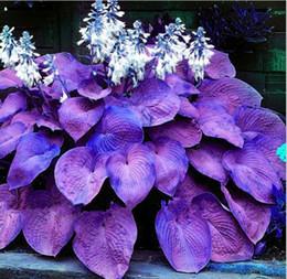 Wholesale Perennial Sales - hot sale Bonsai 100 pcs pack Purple Hosta Seeds Perennials Plantain Lily Flower White Lace Home Garden Ground Cover Plant