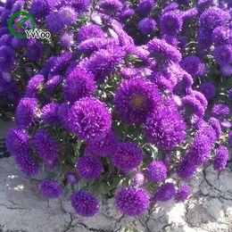 Semillas de aster online-Púrpura China aster Semillas Bonsai Semillas Plantas de Jardín Semillas de Flores Anual Hierba 50 Partículas / lot H027