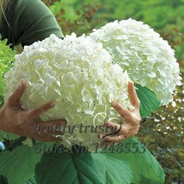 2019 graines de sakura Promotion!!! 100 pcs / sachet graines de fleur d'hortensia blanc, couleur pure, durable, magnifique balcon ou plante fleur de jardin