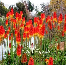 Kniphofia Torch Lily Çiçek Kırmızı Sıcak Poker Kniphofia uvaria 50 Tohumları / Çanta Büyümek Kolay Mükemmel Çok Yıllık Çi ... supplier seeds for perennial flowers nereden çok yıllık çiçekler için tohumlar tedarikçiler